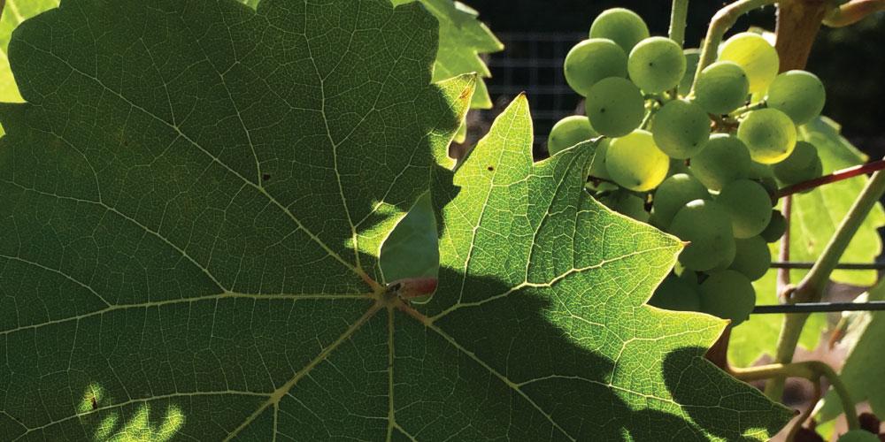 Grapes at Dolio Winery & Vineyard